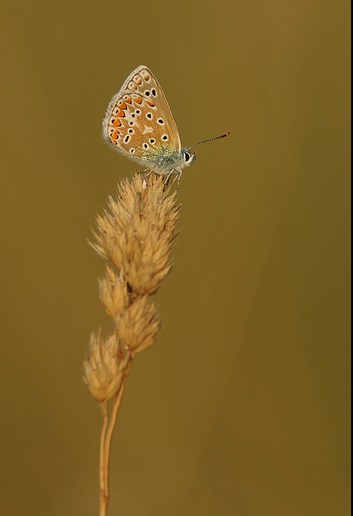 Common blue (7)