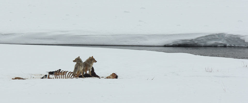 Coyotes on carcase