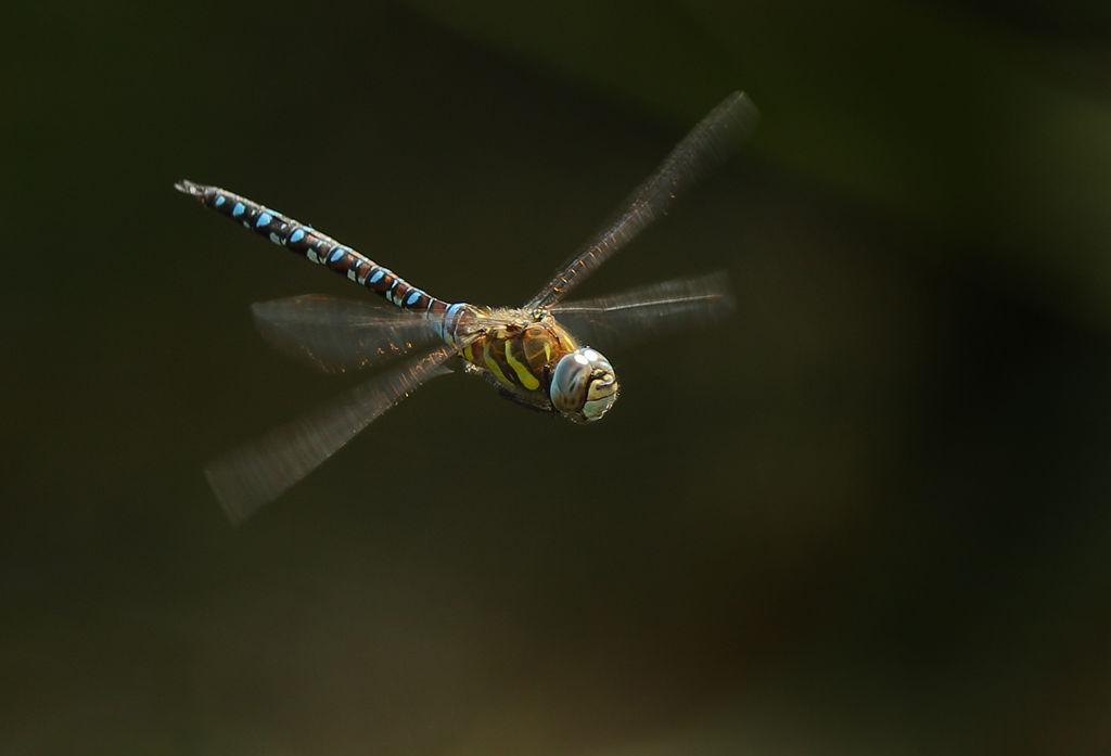 Dragon Fly in flight 1.