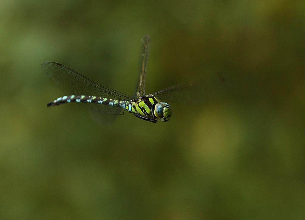 Dragon fly in flight 2.