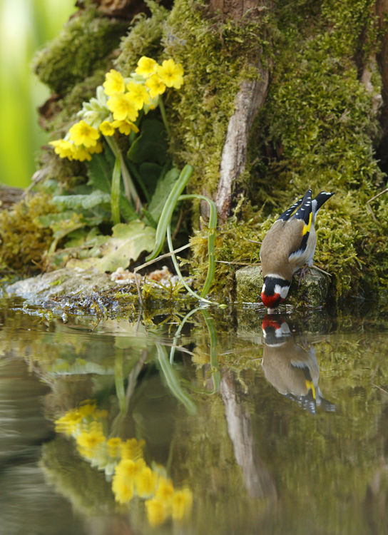 Drinking Goldfinch Reflection (2)