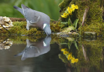 Drinking Pigeon Reflection