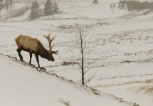 Elk Stag no 1.