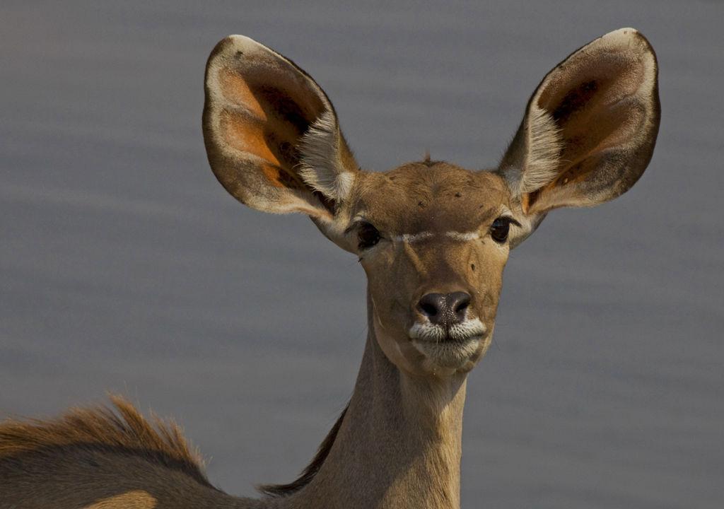 Female Kudu.