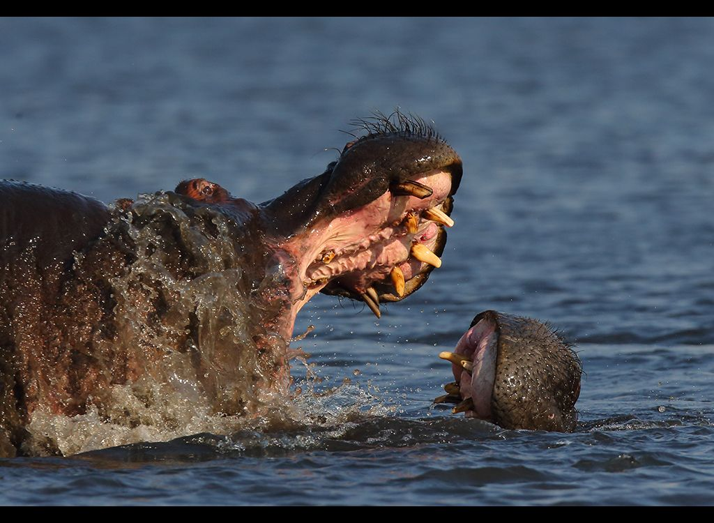 Fighting Hippos no11