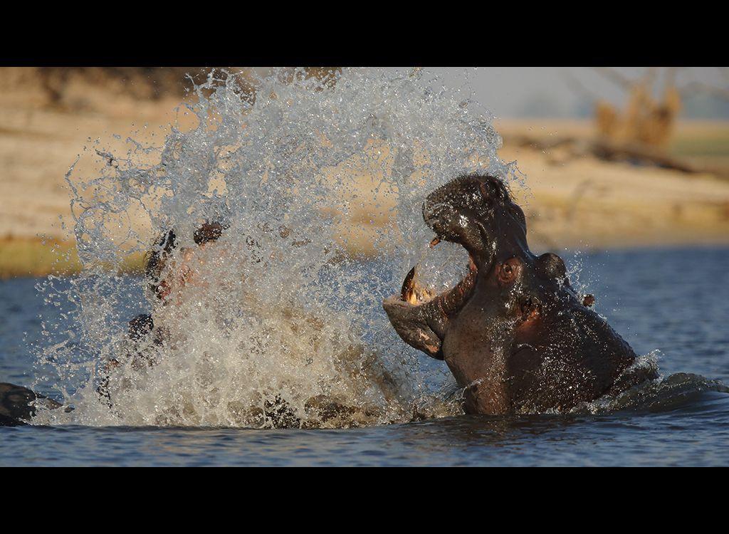 Fighting Hippos no3