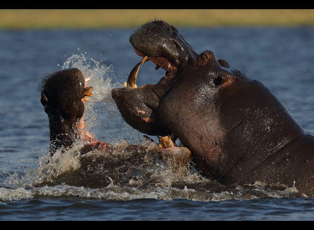 Fighting Hippos no9