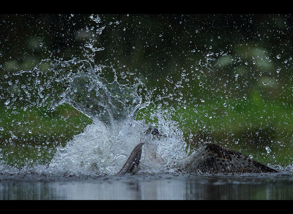 Fishing Osprey no 1
