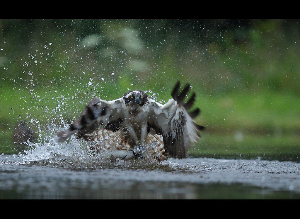 Fishing Osprey no 10