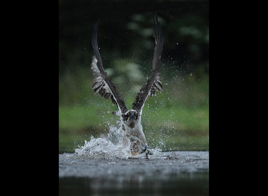 Fishing Osprey no 12