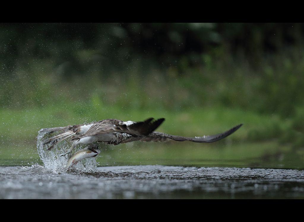 Fishing Osprey no 14