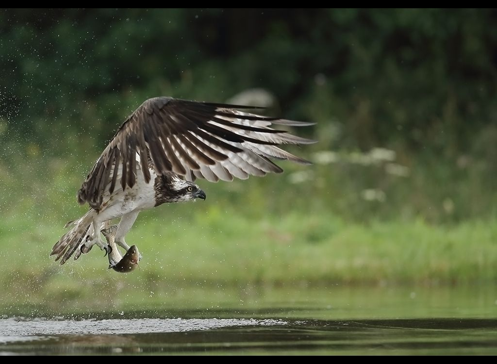 Fishing Osprey no 16
