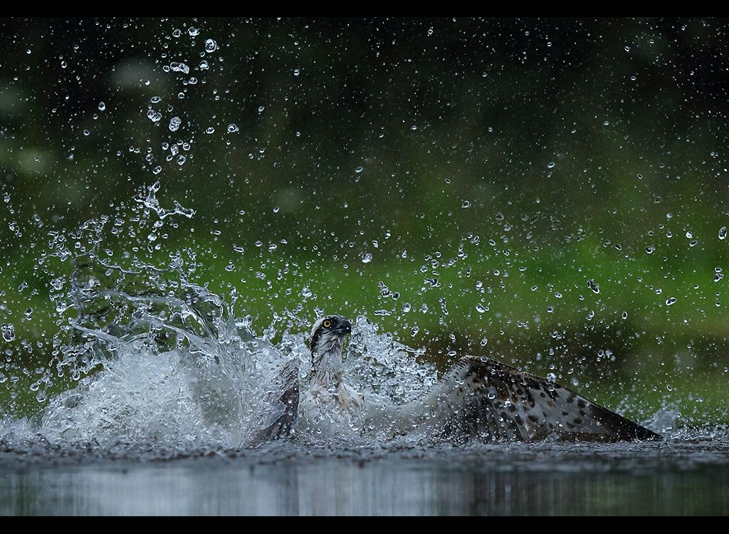 Fishing Osprey no 2