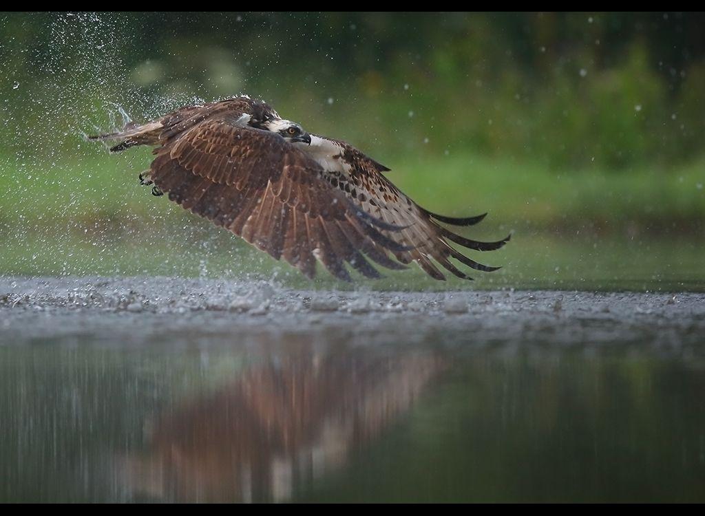 Fishing Osprey no 3