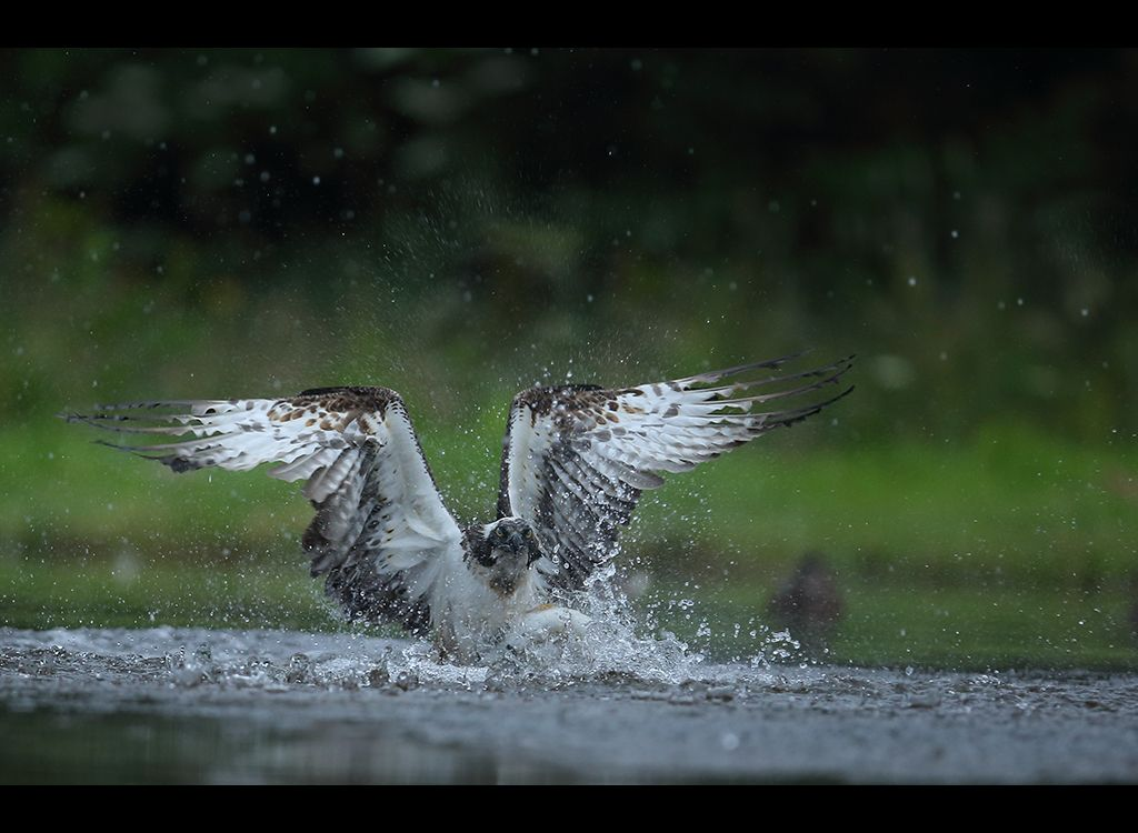 Fishing Osprey no 9