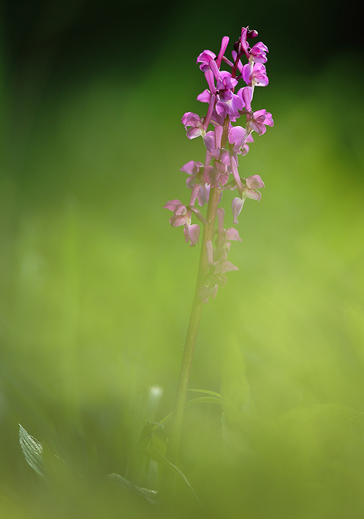 Green winged orchid (2)