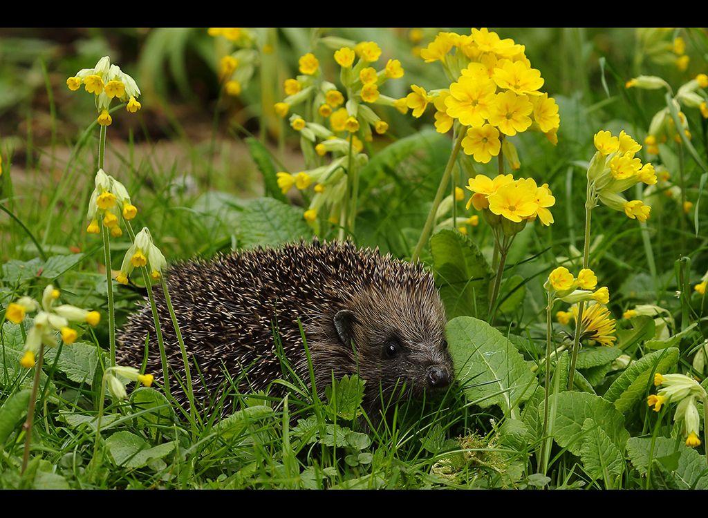 Hedgehogs in cowslips no3
