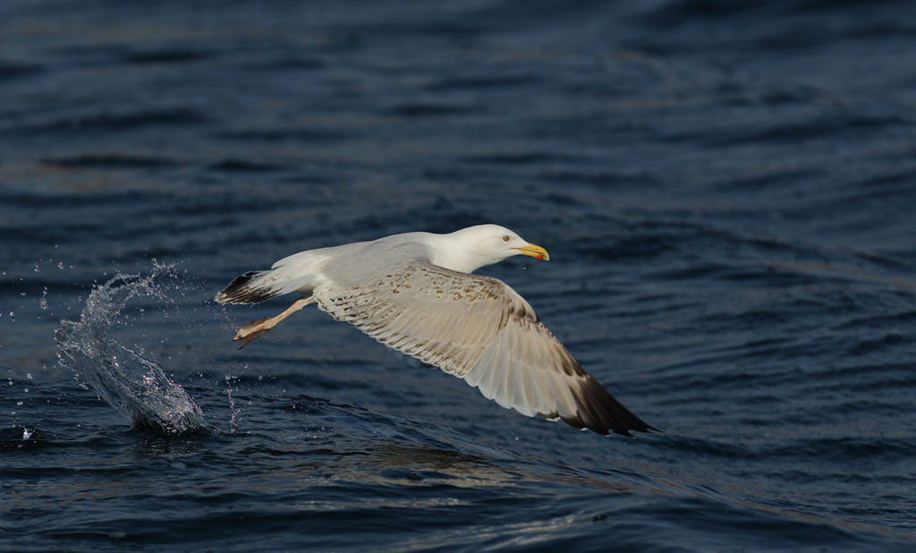 Herring Gull Take Off.