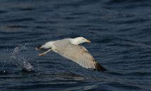 Herring Gull Take Off.