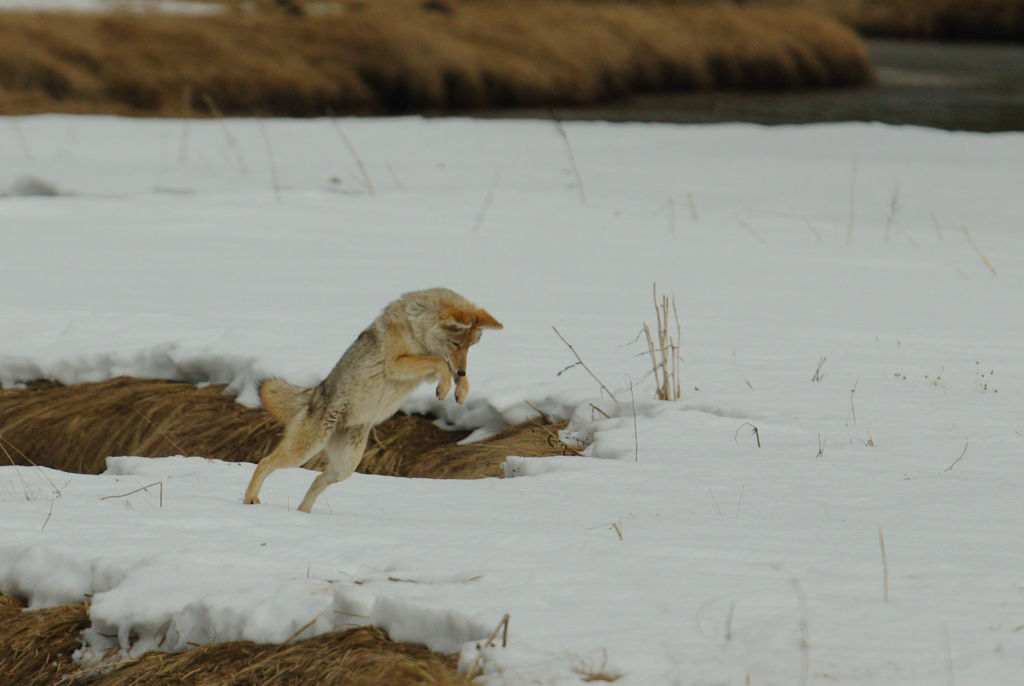 Hunting Coyote no 2.