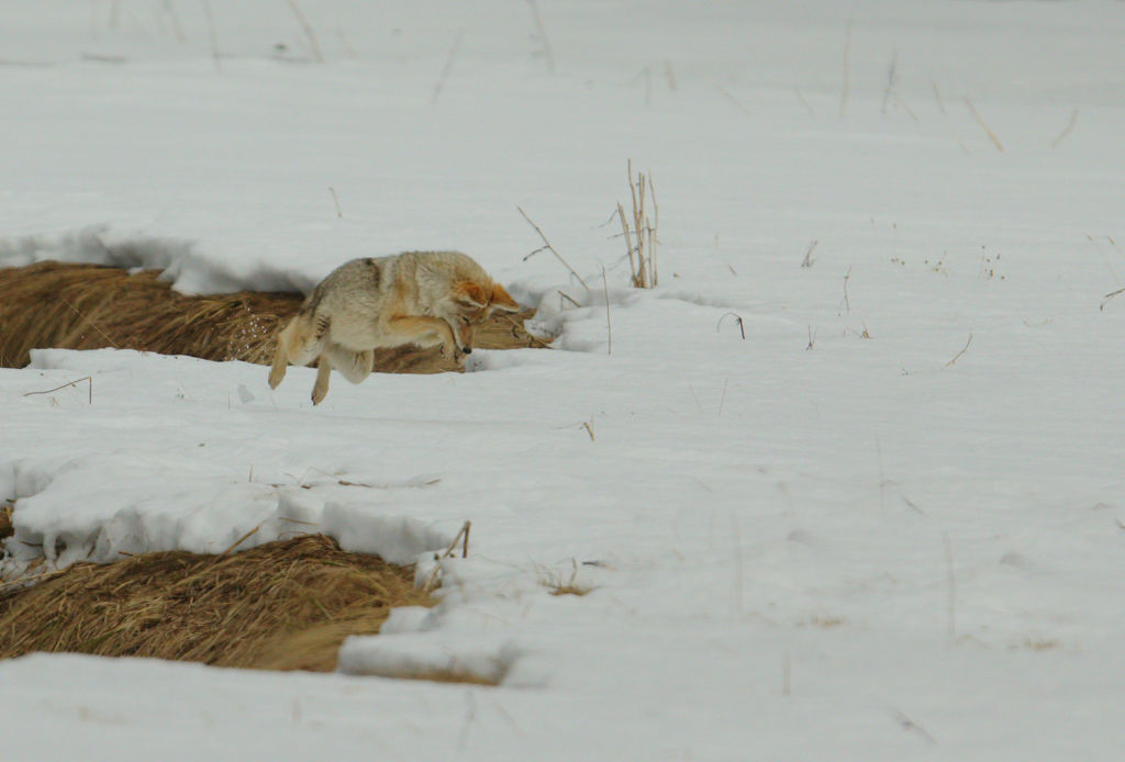 Hunting Coyote no 3.