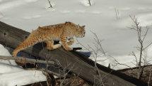 Hunting bobcat
