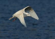 Icelandic Gull 1.