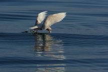 Icelandic Gull Feeding.