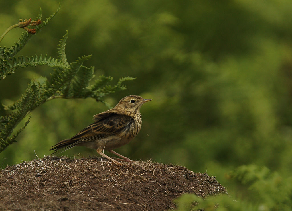 Juvenile Meadow Pippit