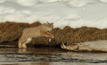 Leaping bobcat