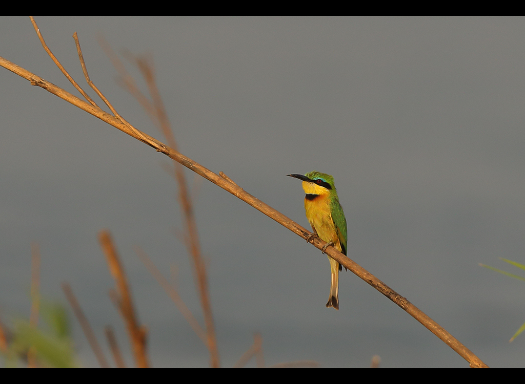 Little Bee Eater no 1