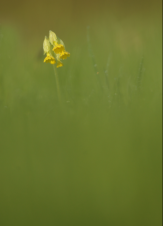 Lonely cowslip