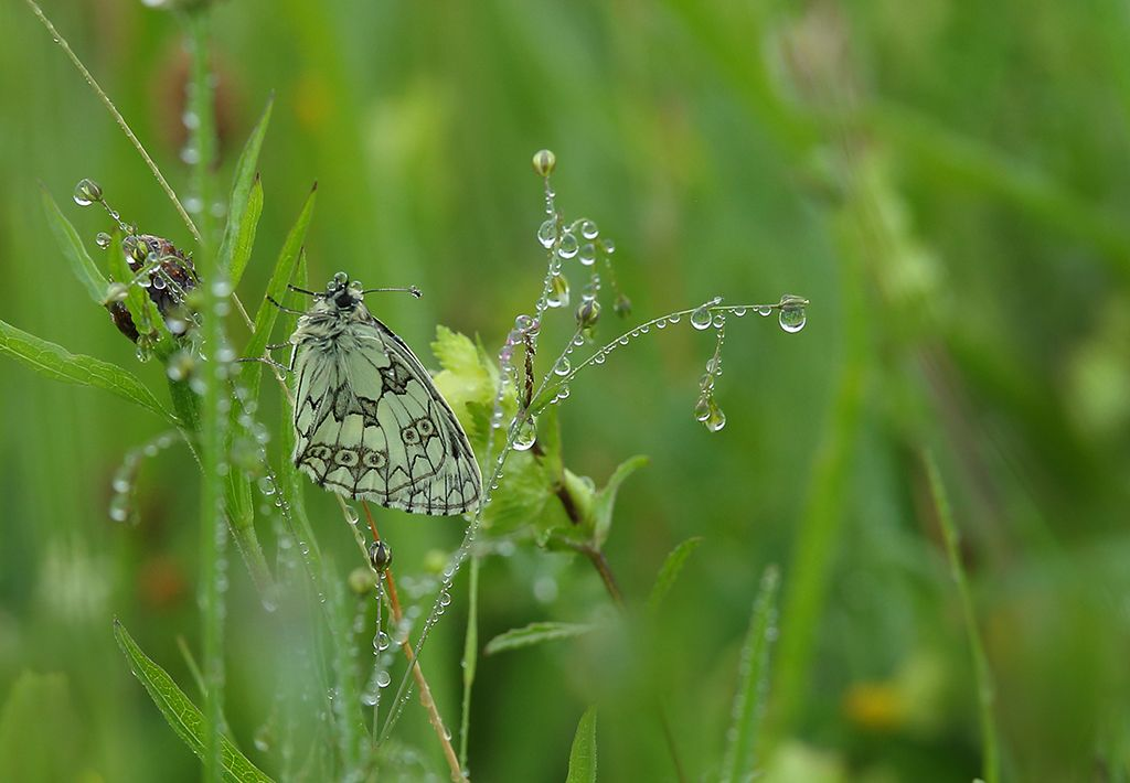 Marbled white at dawn