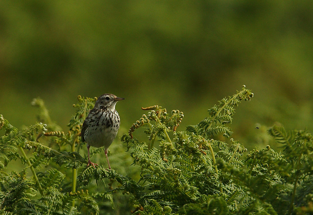 Meadow Pippit.