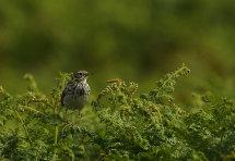 Meadow Pippit.