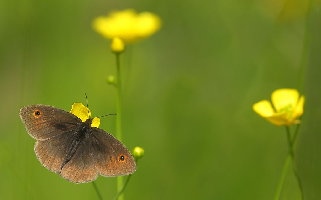 Meadow brown on buttercups