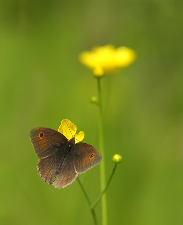 Meadow brown on buttercups (2)