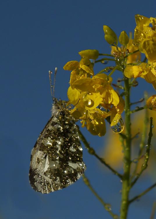 Orange tip Butterfly. (2)