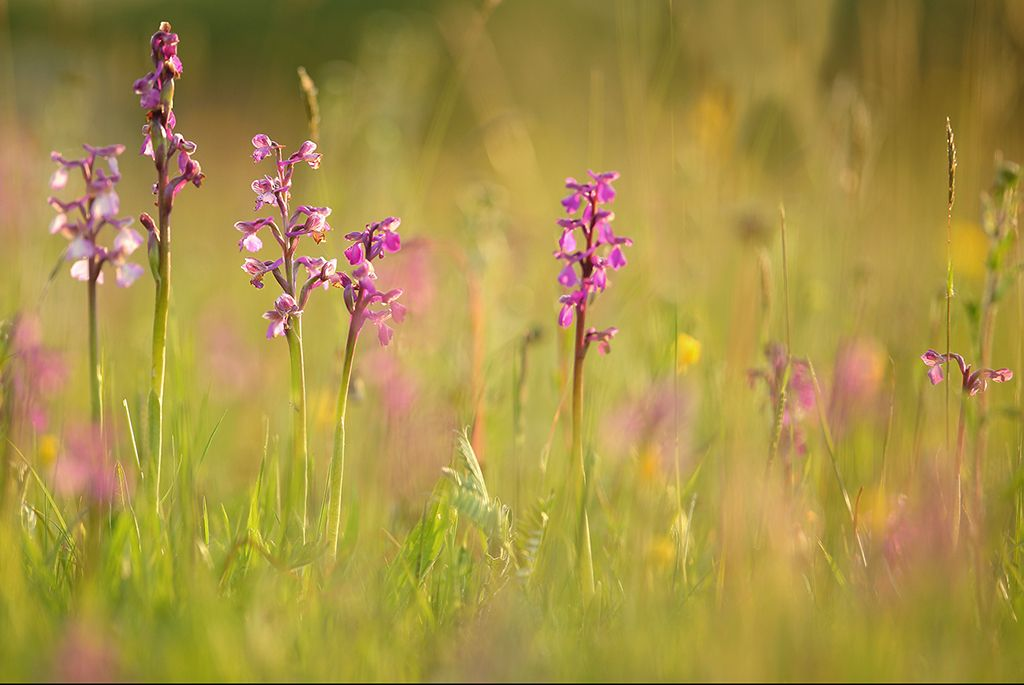Orchid meadow (2)