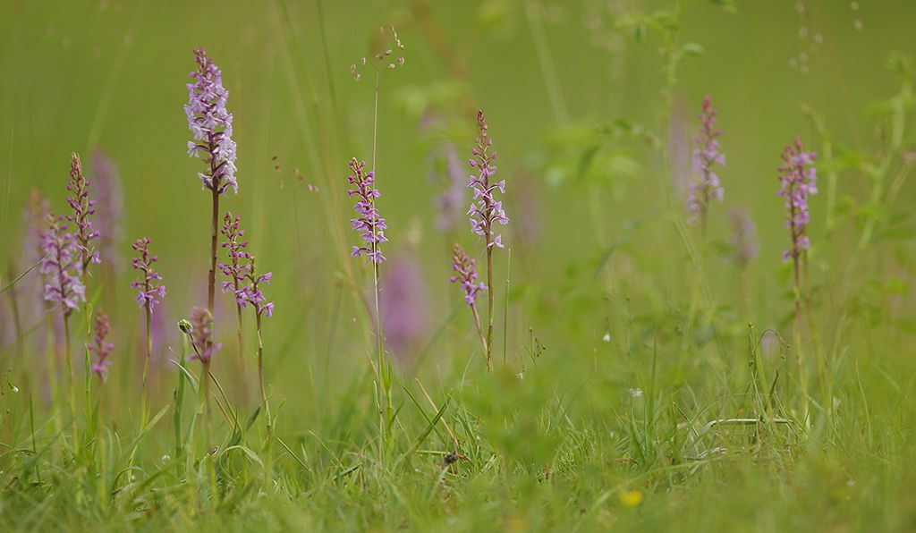 Orchid meadow (3)