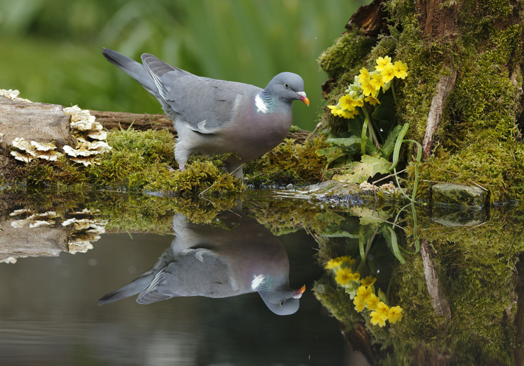 Pigeon Reflection