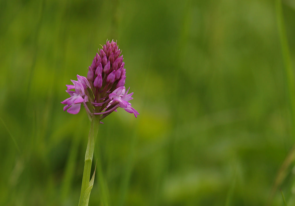 Pyramid Orchid.