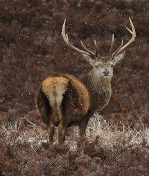 Red Deer in snow shower