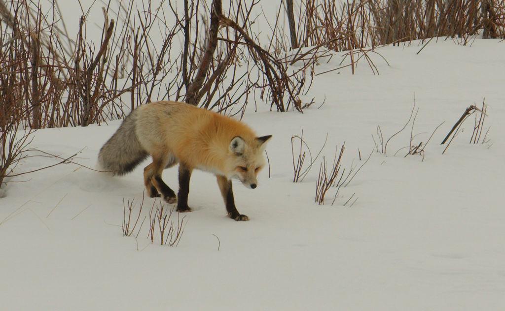 Red Fox no4