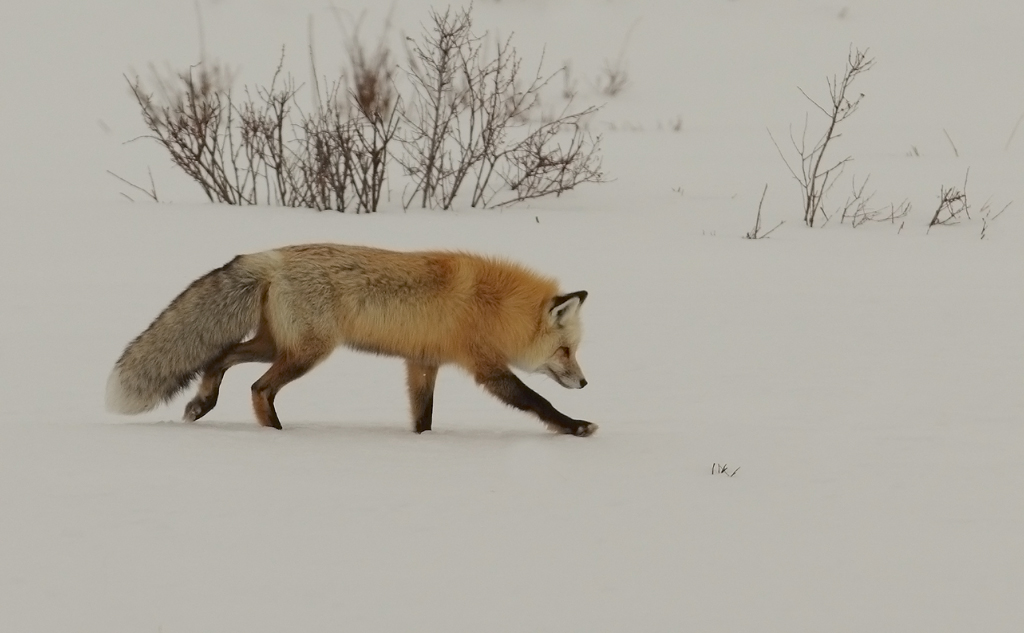 Red fox no2.