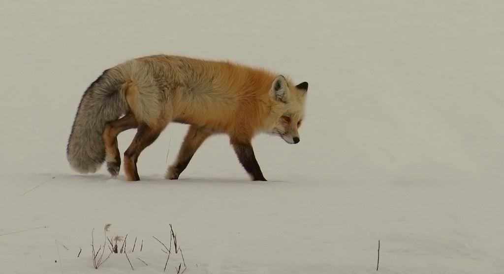 Red fox no3