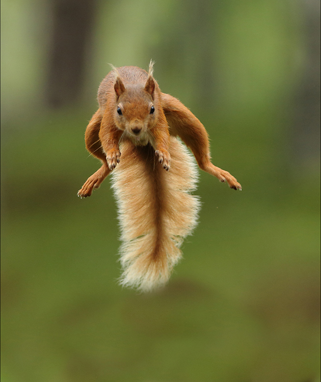 Red squirrel leap 3
