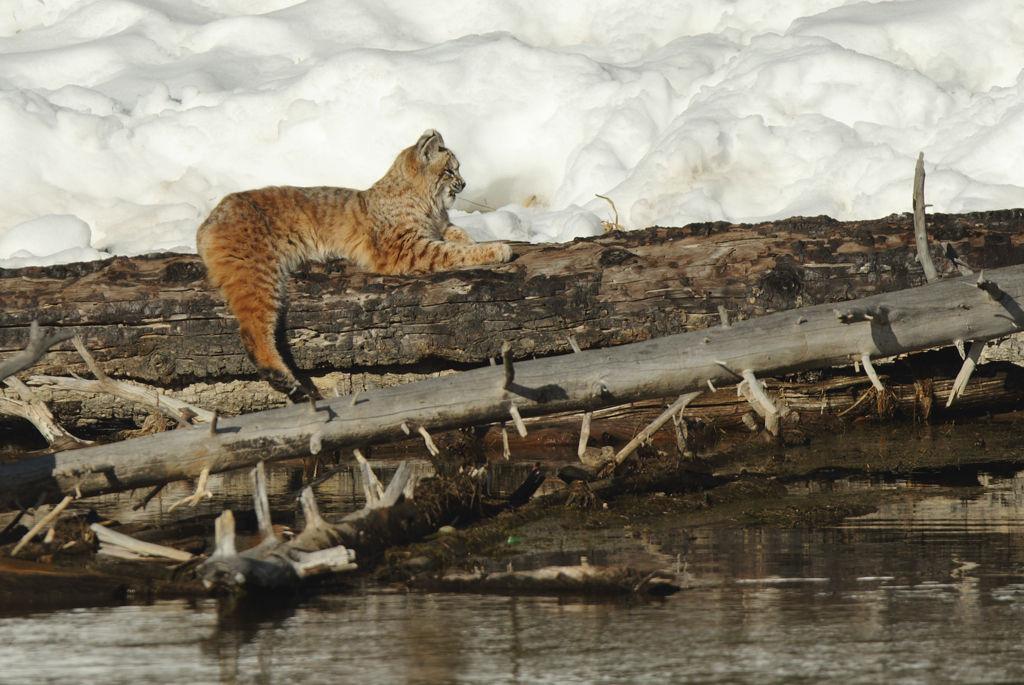 Resting bobcat