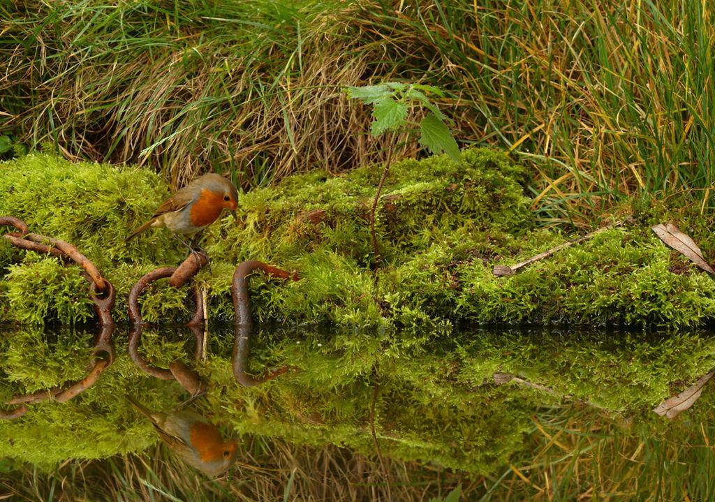 Robin Reflection.