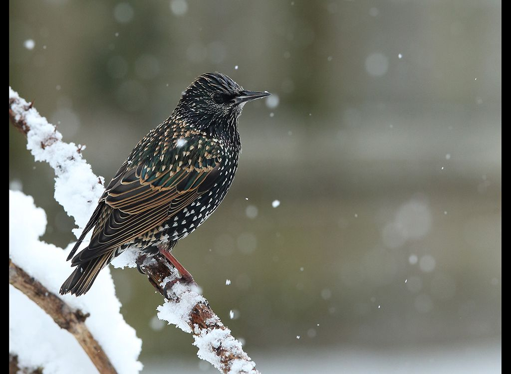 Starling in snow no1